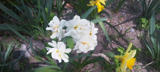 JHBG Fall 2014 Gardening Schedule -  Nov: 11/1/14 – PS 149 at 34th and 93rd St. – Daffodil bulb planting