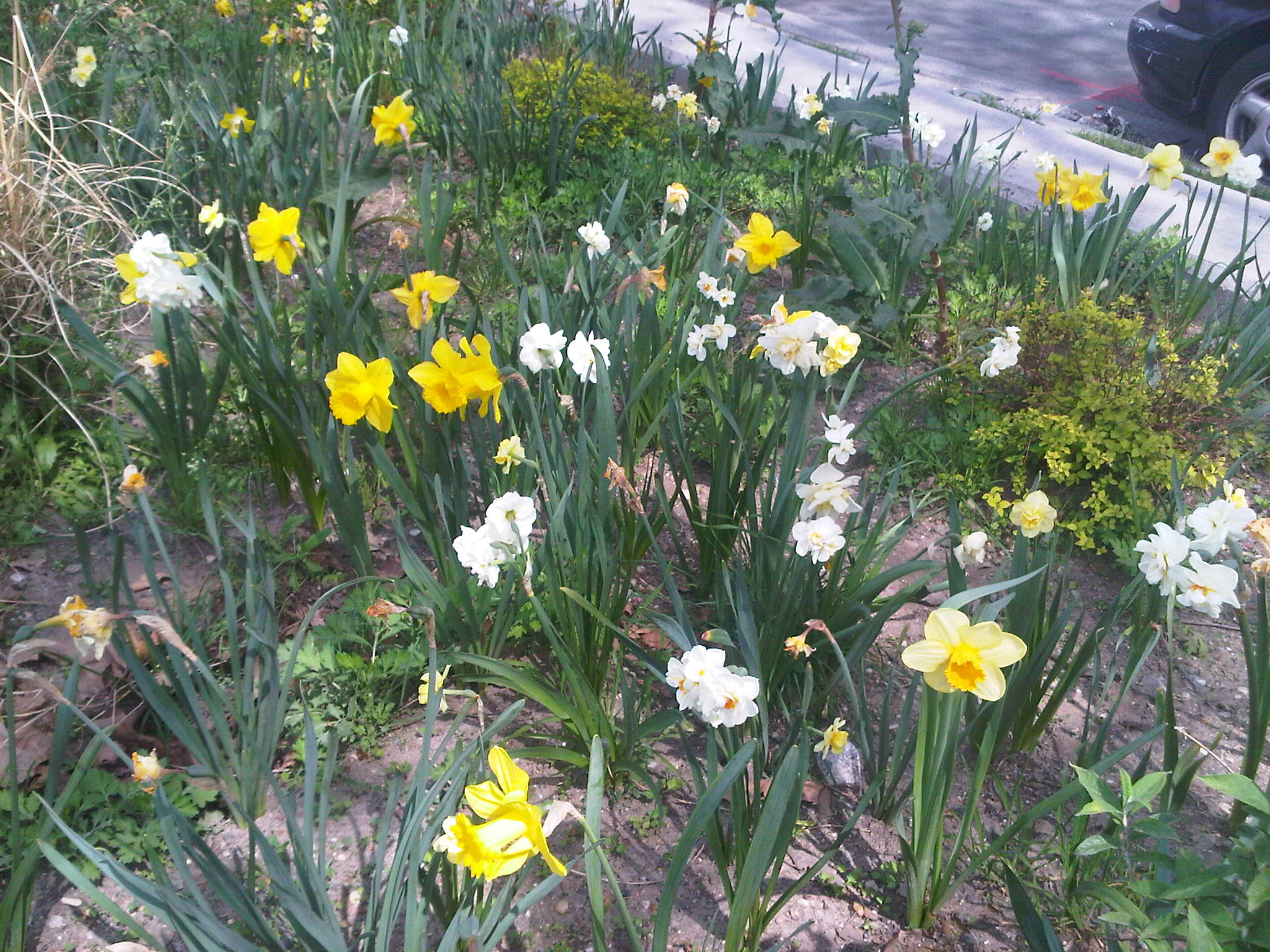 When how to plant daffodil bulbs - Join Your Neighbors And The Jackson Heights Beautification Group For A Community Wide Planting Of The 34th Ave Median From 69th St To Junction Blvd