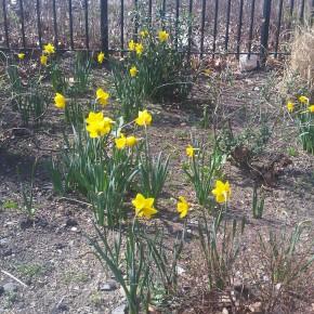 JHBG Daffodil